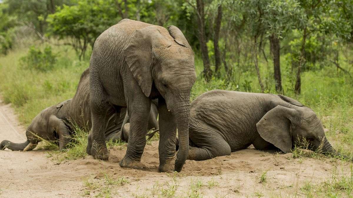 Besoffene elefanten in s dafrika liegen am boden welt for Boden liegen