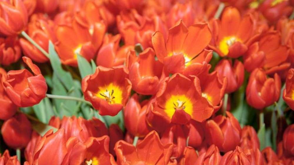 giftige ostersymbole tulpen mit handschuhen anfassen wohnen. Black Bedroom Furniture Sets. Home Design Ideas