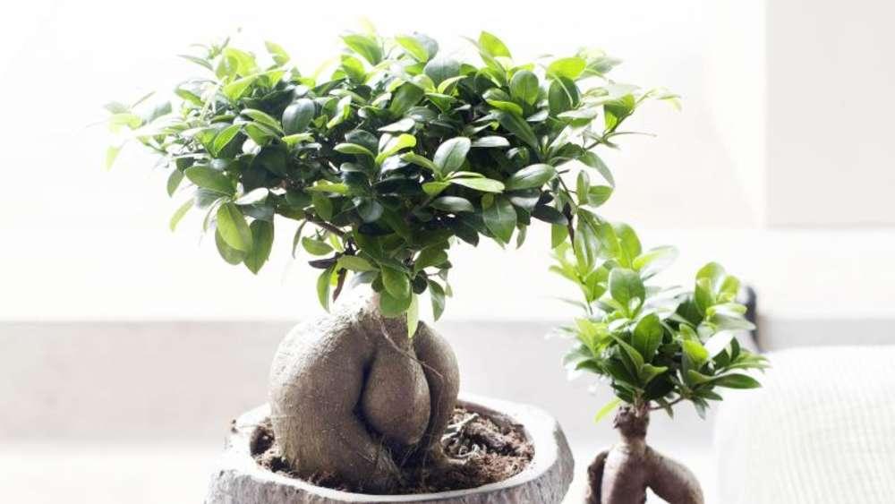 Ficus ginseng mag abgestandenes leitungswasser wohnen - Bonsai zimmerpflanze ...