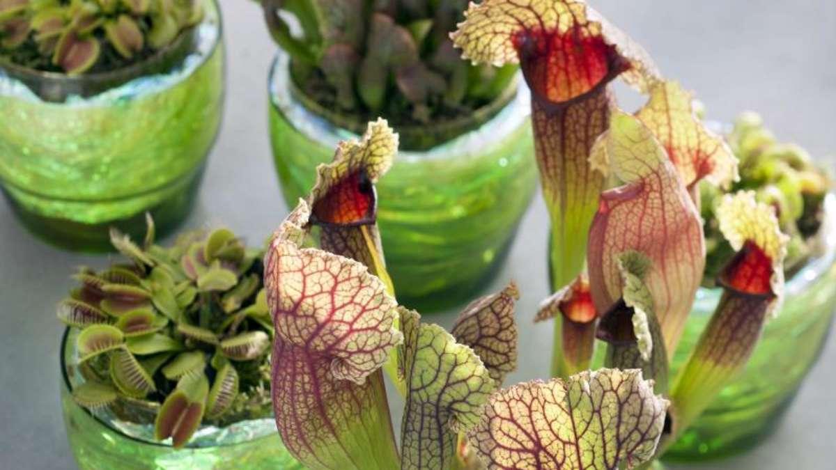 fleischfressende pflanzen brauchen keinen d nger wohnen. Black Bedroom Furniture Sets. Home Design Ideas