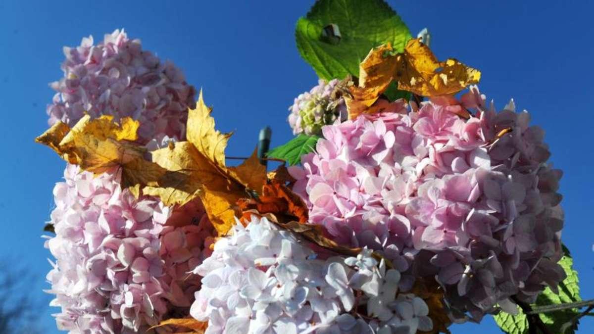 braune hortensienbl ten zieren im herbst den garten wohnen. Black Bedroom Furniture Sets. Home Design Ideas