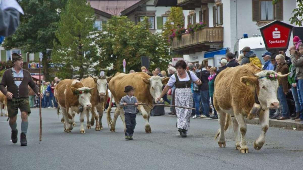 Der Rote Teppich für die Rinder  GarmischPartenkirchen
