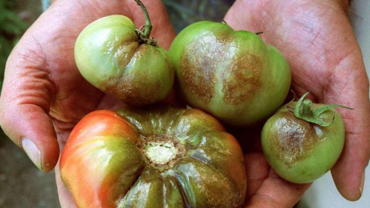 pilz an den tomaten die fr chte und bl tter m ssen weg. Black Bedroom Furniture Sets. Home Design Ideas