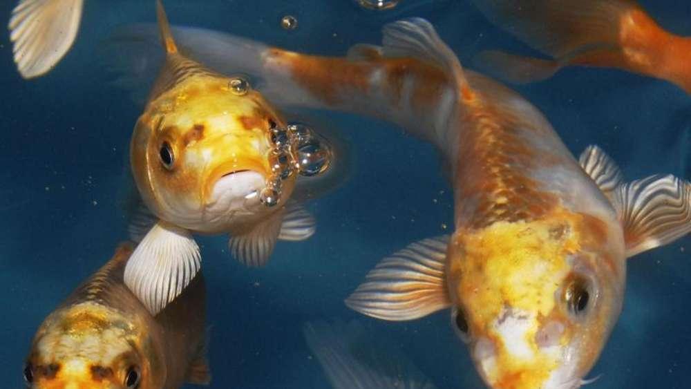 Teichfische brauchen vor der winterruhe extra viel energie for Was fressen teichfische