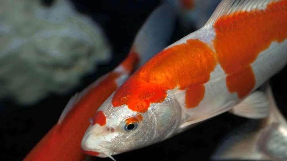 Nicht ohne artgenossen so f hlen sich fische im teich for Fische algenfresser teich
