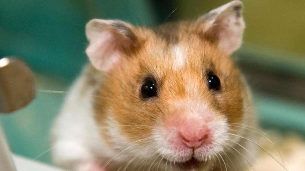 hamsterfutter sollte nicht zu viel fett enthalten tiere. Black Bedroom Furniture Sets. Home Design Ideas