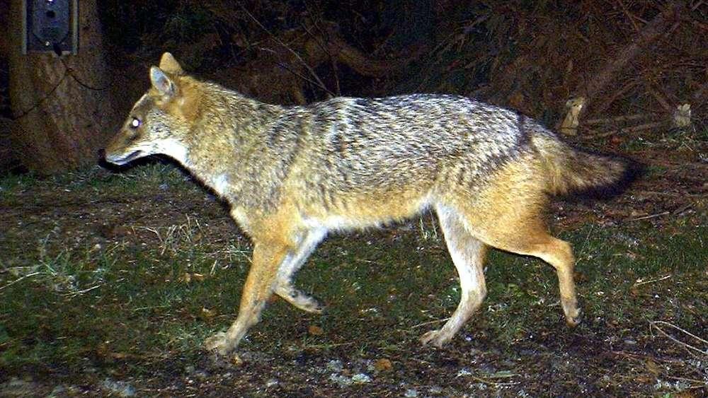 Tiere: Erstmals Goldschakal in Schleswig-Holstein nachgewiesen