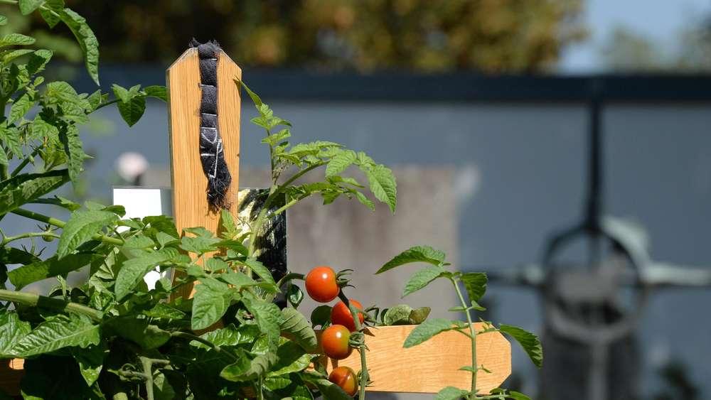 Tomaten dürfen auf das Grab