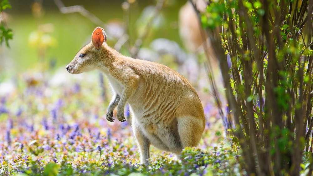 Das entwischte Känguru in Niederbayern ist gefasst