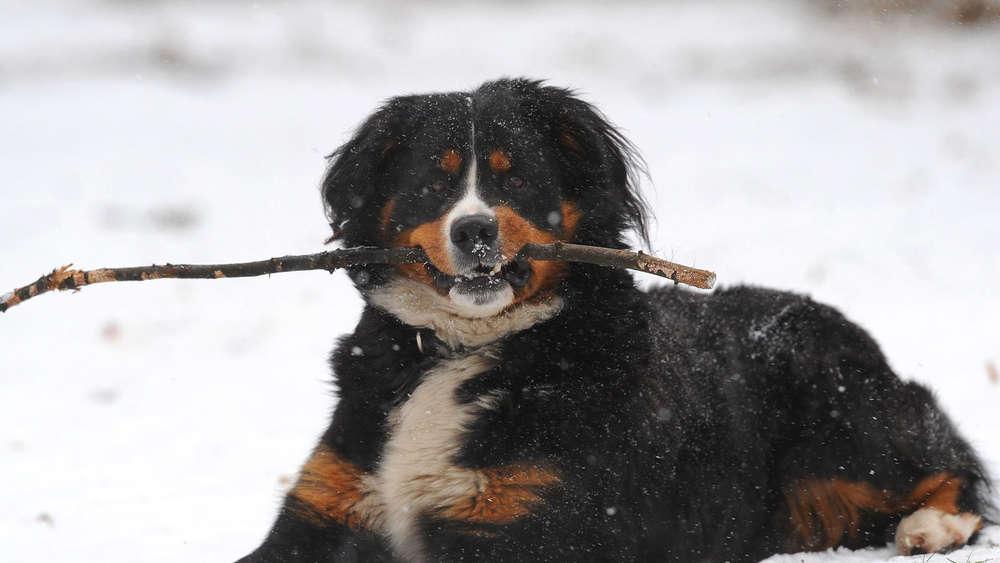 Hund beißt 36-Jähriger an der Stoißer Alm ins Gesicht - schwer verletzt