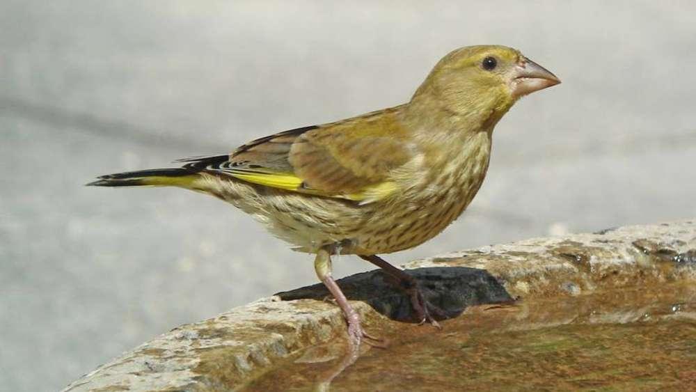 Mitmachaktion Nabu ruft Menschen zum Zählen von heimischen Vögeln auf