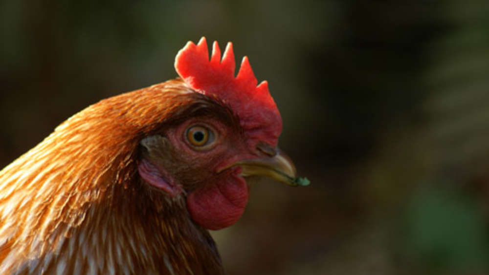 huhn jpg pictures to - photo #42