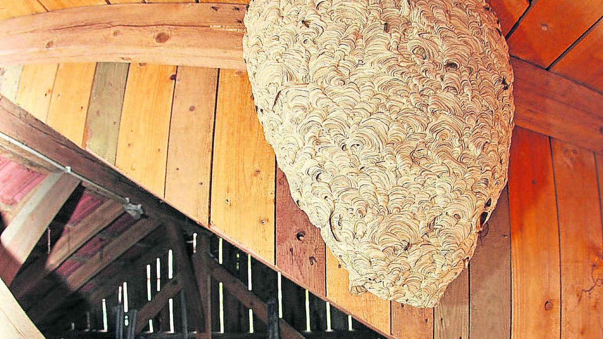 kranzberger entdeckt riesen wespennest in schuppen freising. Black Bedroom Furniture Sets. Home Design Ideas