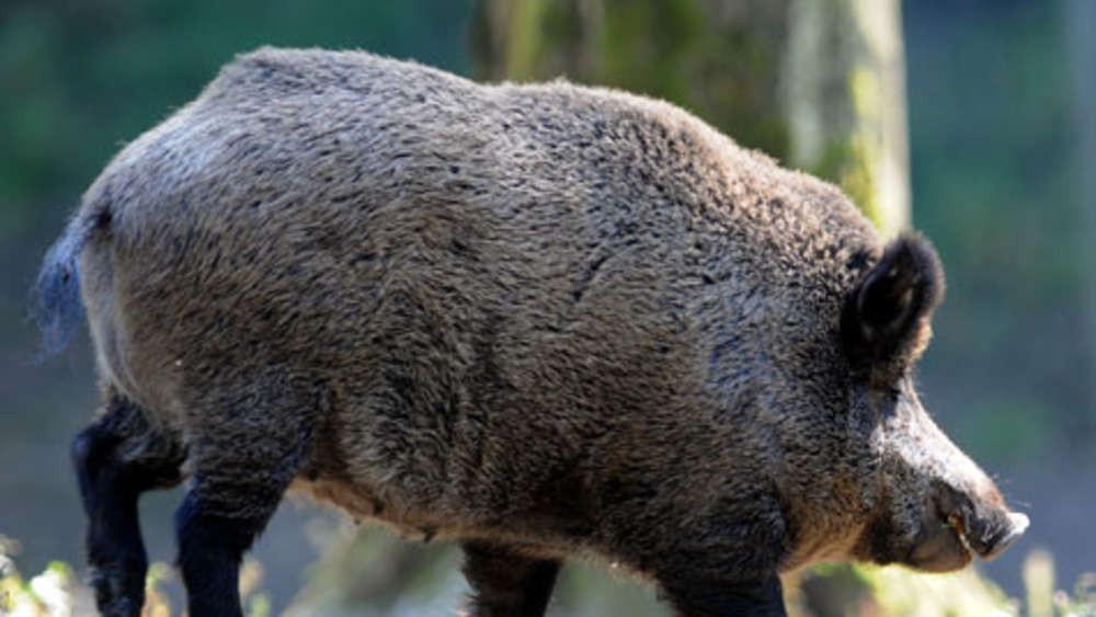 Wildschweinplage bauern schießen gegen jäger bayern