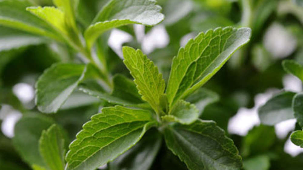 Stevia Fur Diabetiker Nur Bedingt Geeignet Gesundheit