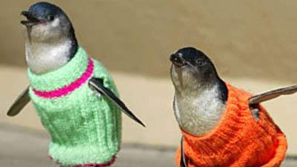 Kuriose Hilfsaktion: Pullis für Pinguine in Australien | Bayern