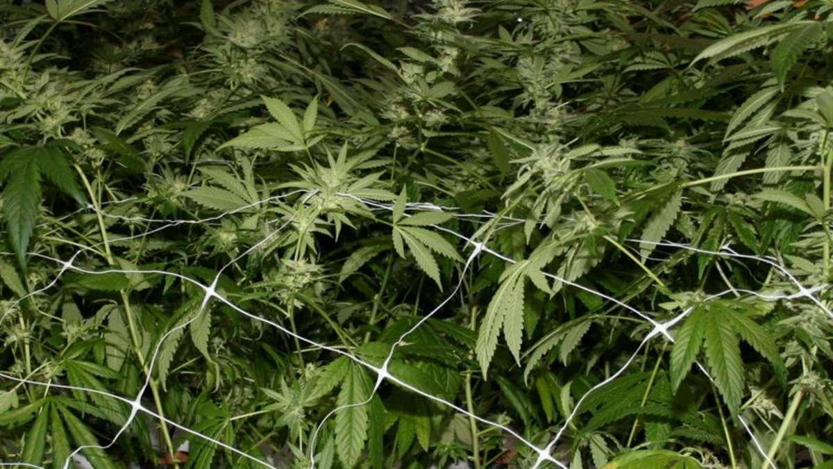 gericht erlaubt kranken unter bestimmten bedingungen cannabis anbau gesundheit. Black Bedroom Furniture Sets. Home Design Ideas