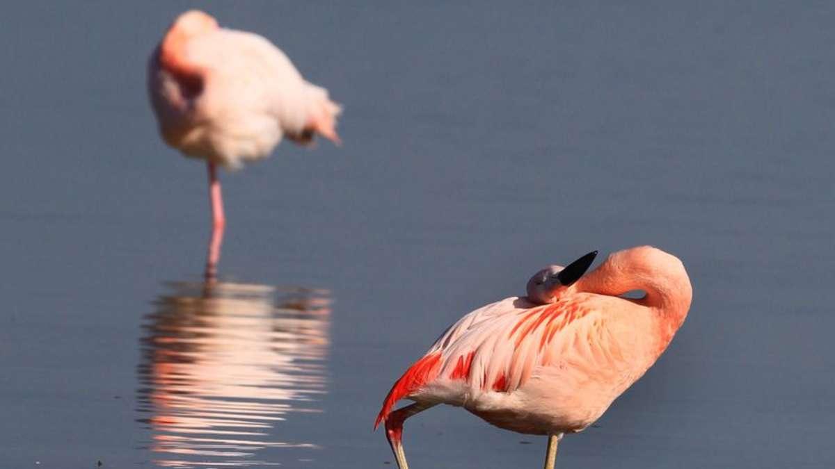 wo kommen sie her flamingos zu gast im allg u bayern. Black Bedroom Furniture Sets. Home Design Ideas