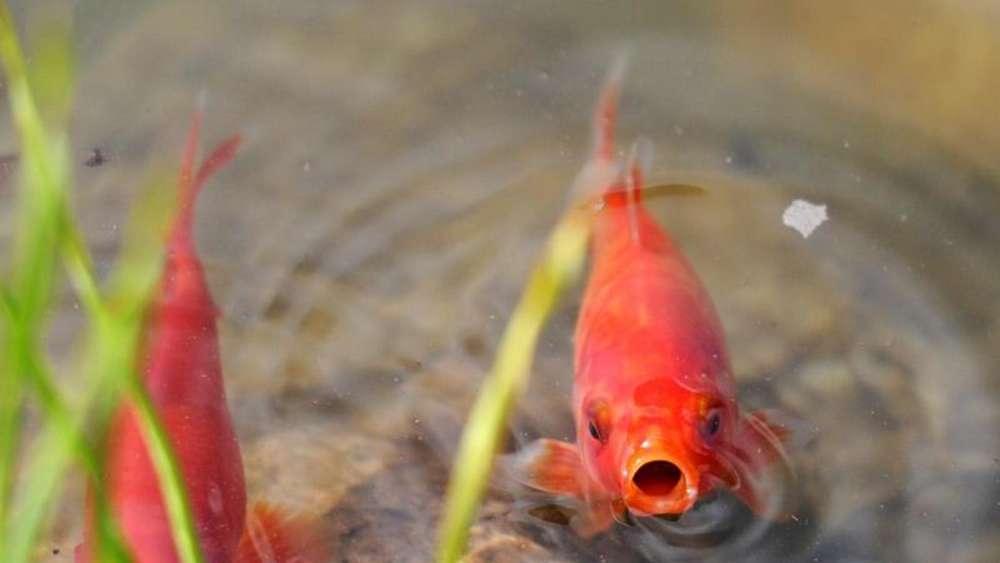 Fische Im Gartenteich Brauchen Im Herbst Weniger Futter Tiere
