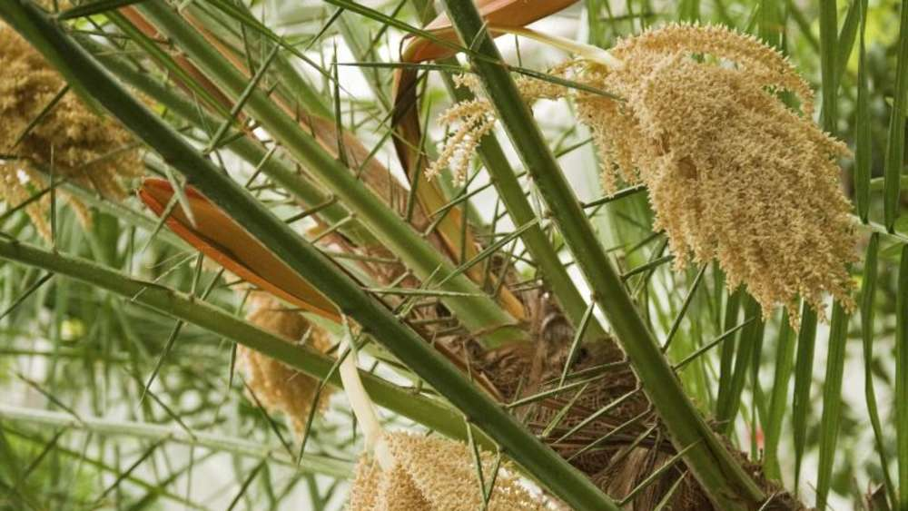 Viel Licht, viel Wasser - Palmen im Haus richtig pflegen | Wohnen