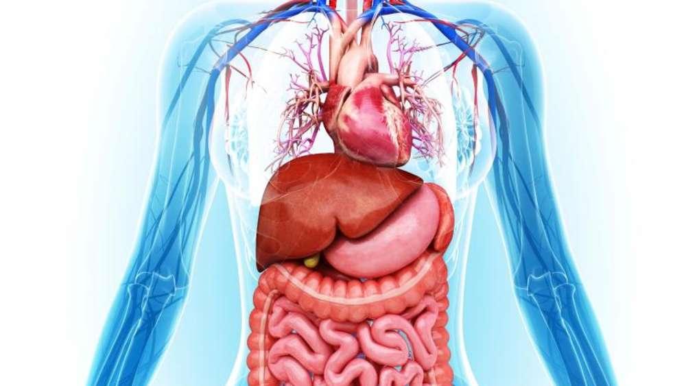 Ungewöhnlich Körperbild Mit Organen Fotos - Menschliche Anatomie ...