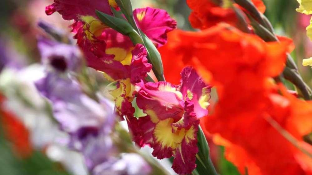 Etwas Neues genug Gladiolen zwei und sieben Wochen nach Setzen düngen | Wohnen @WY_74