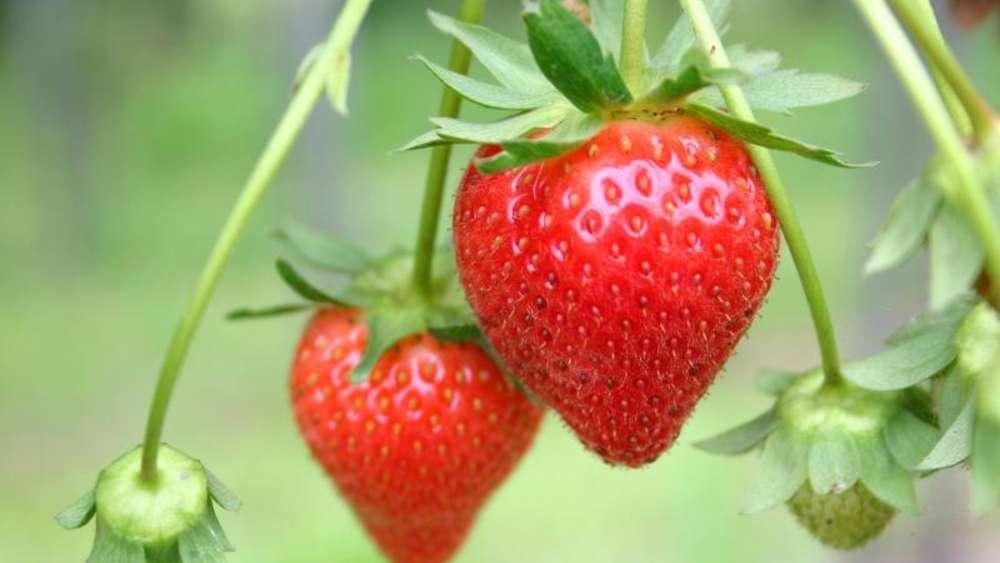 Gemeinsame Die eigene Erdbeer-Zucht: Sechs Fakten für Hobbygärtner | Wohnen @YY_31