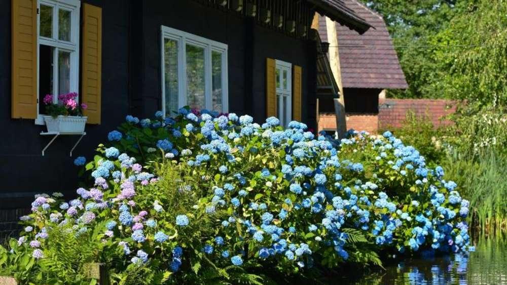 g rtner trick so f rben sich hortensien blau wohnen. Black Bedroom Furniture Sets. Home Design Ideas