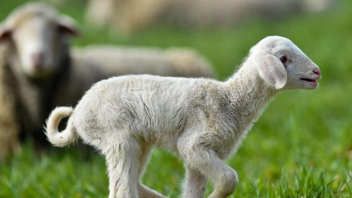 Lebende rasenm her schaf und ziege im garten halten tiere for Schafe halten im garten