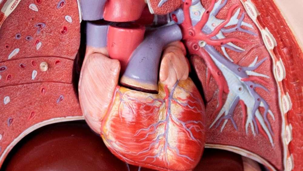 Zehn Fakten zu unserem Herz: Aufbau, Funktion und kurioses | Gesundheit