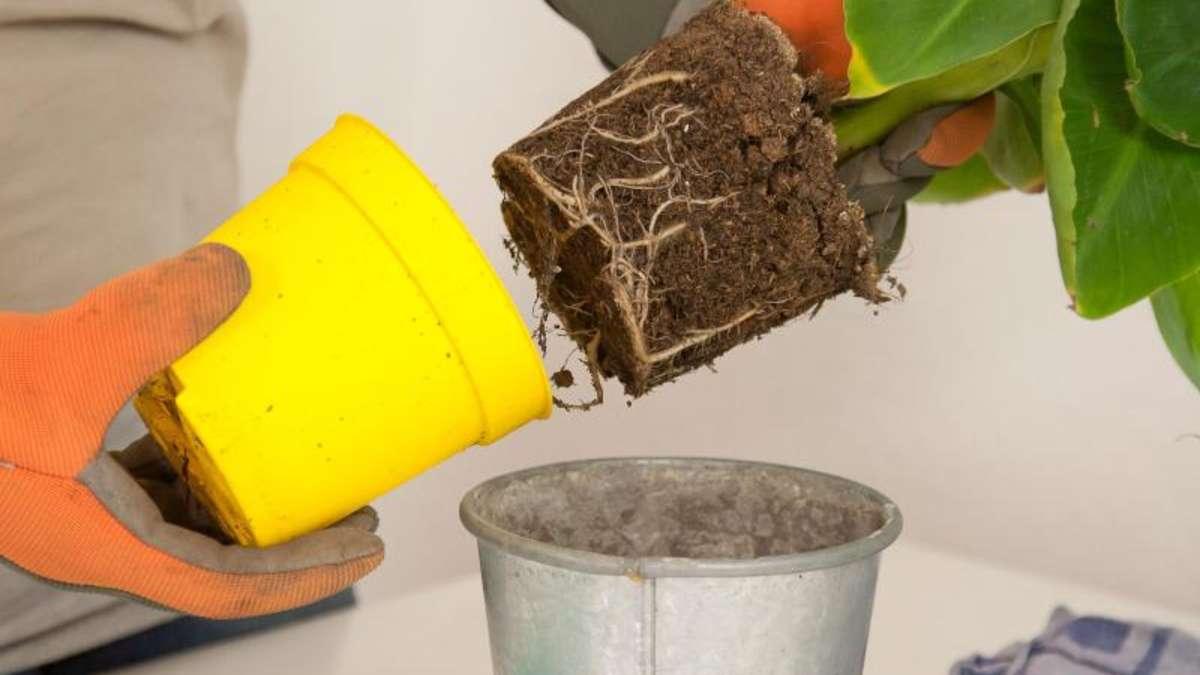 wann das umtopfen der zimmerpflanzen ansteht wohnen. Black Bedroom Furniture Sets. Home Design Ideas