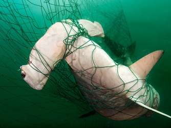 Hammerhead shark bycatch, Mexico