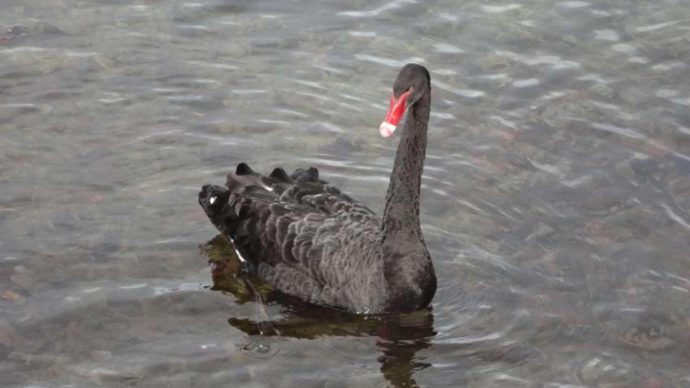 Schwarze schwan