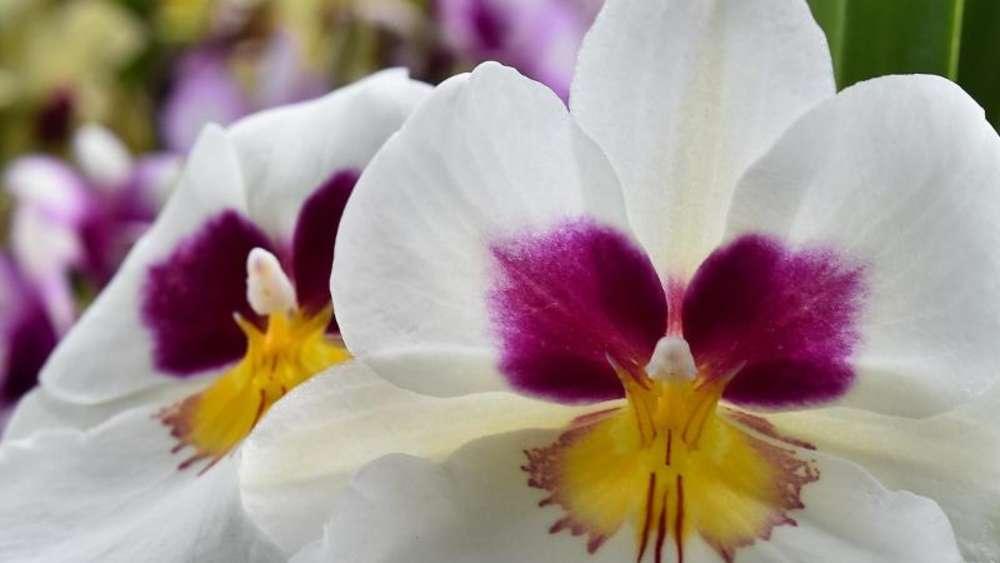 Gelbe Blätter An Orchidee Sind Hinweis Auf Zu Viel Sonne Wohnen