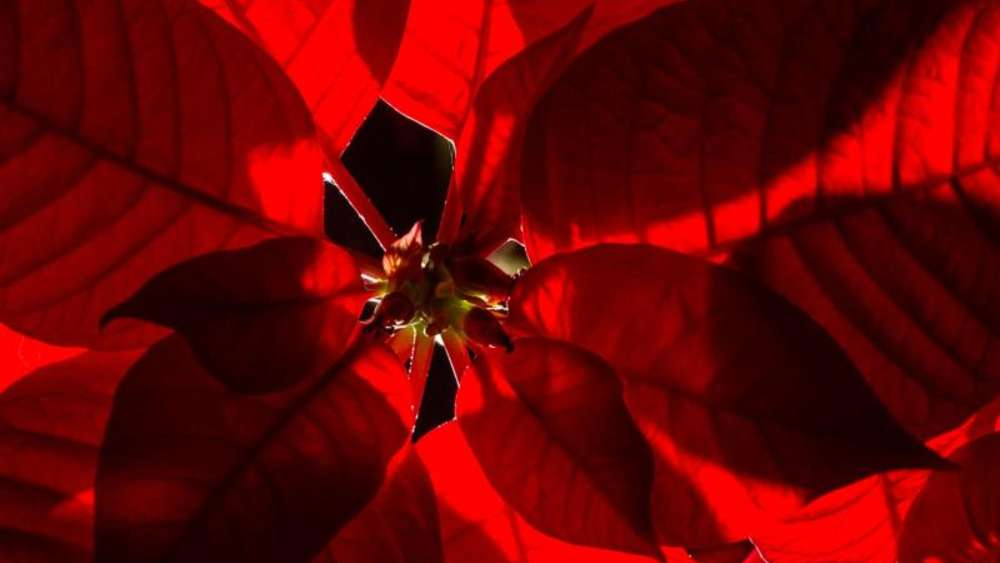 So färben sich Weihnachtsstern-Blätter wieder rot   Wohnen