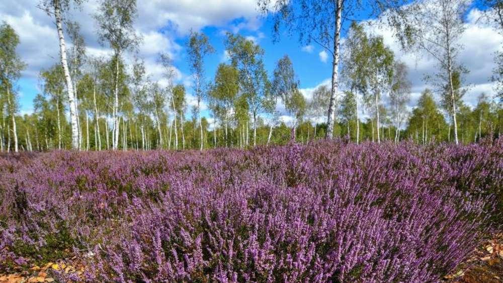 Himalaya Birke himalaya birke in heidegärten setzen wohnen