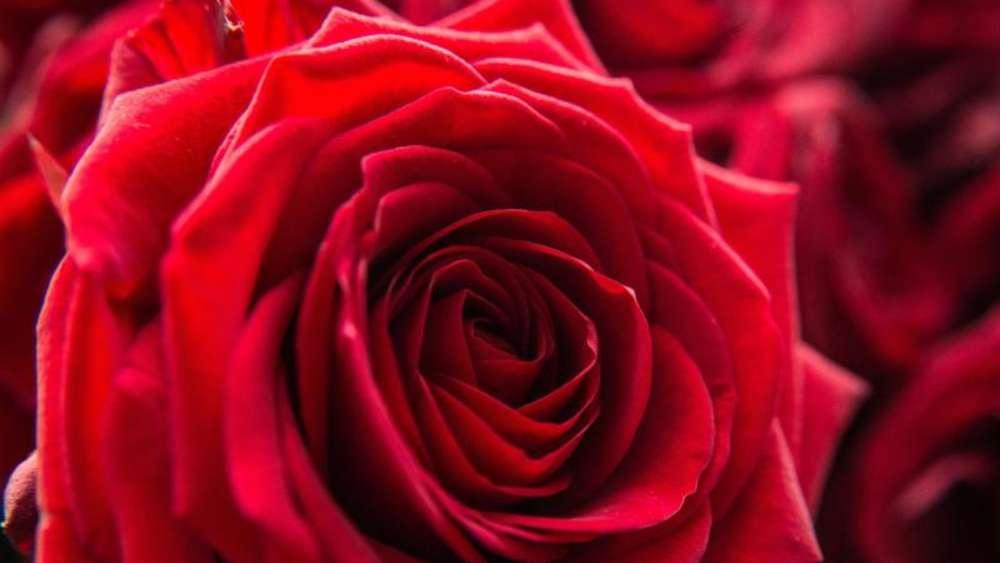 Rosen Zum Valentinstag Kühl Lagern