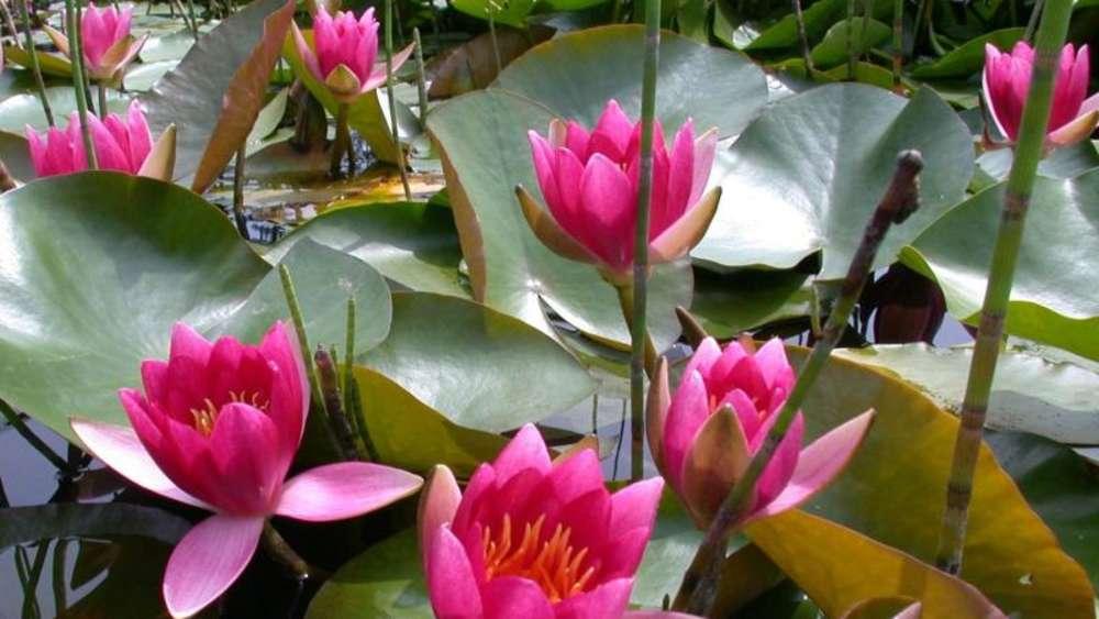 Atemberaubend Viele Seerosen schließen Blüten schon am Nachmittag | Wohnen @EF_88