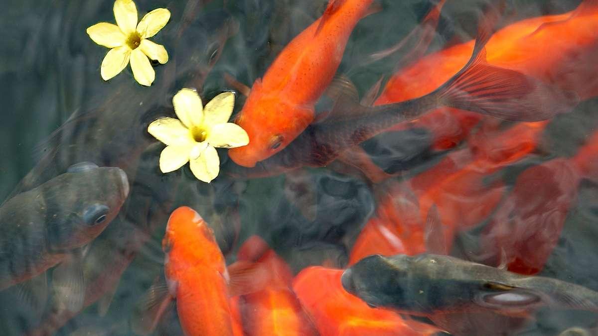 In poing in der wallbergstra e hat ein unbekannter t ter for Goldfische gartenteich