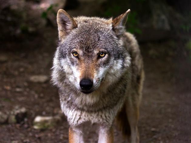 IQ-Test: Wie kommen Wolf, Schaf und Kohlkopf über den Fluss?