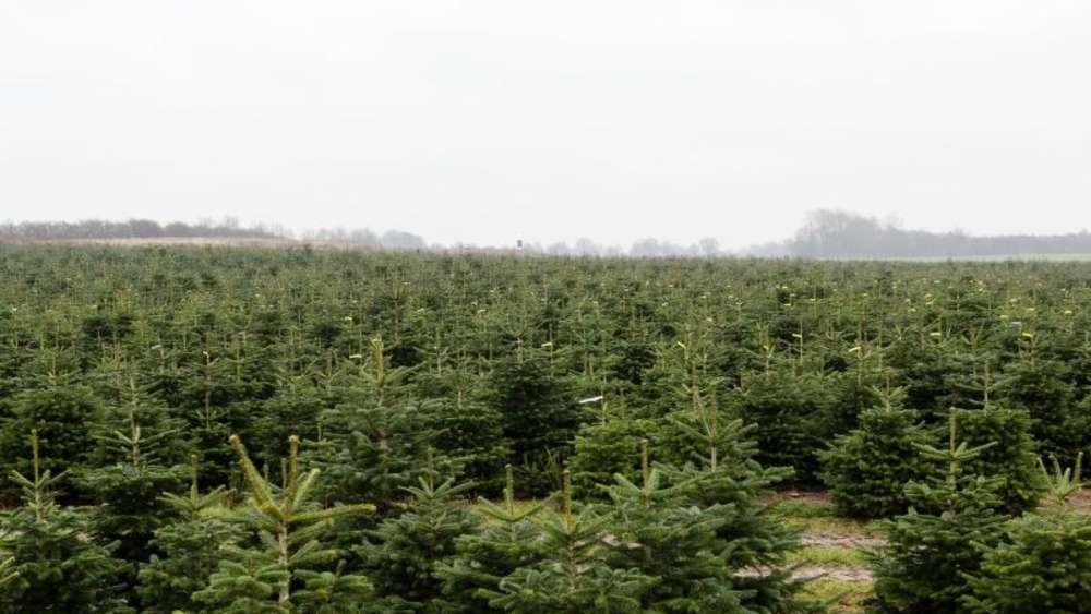 Weihnachtsbäume oft mit Pestiziden belastet | Welt