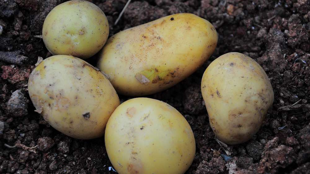 Bio kartoffeln mit schale essen
