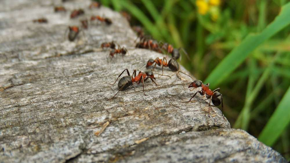 Ameisen bekämpfen: Diese Hausmittel helfen in der Wohnung ...