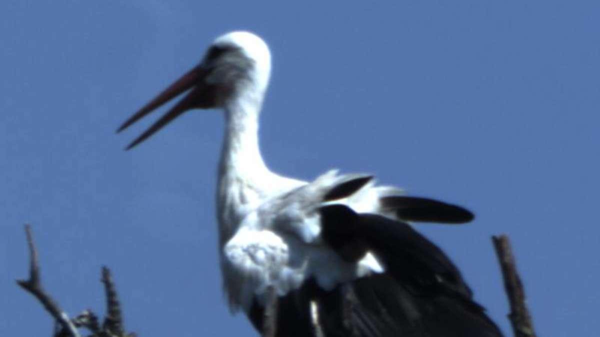 nachwuchs wird von eltern gut versorgt: junger storch ist bald