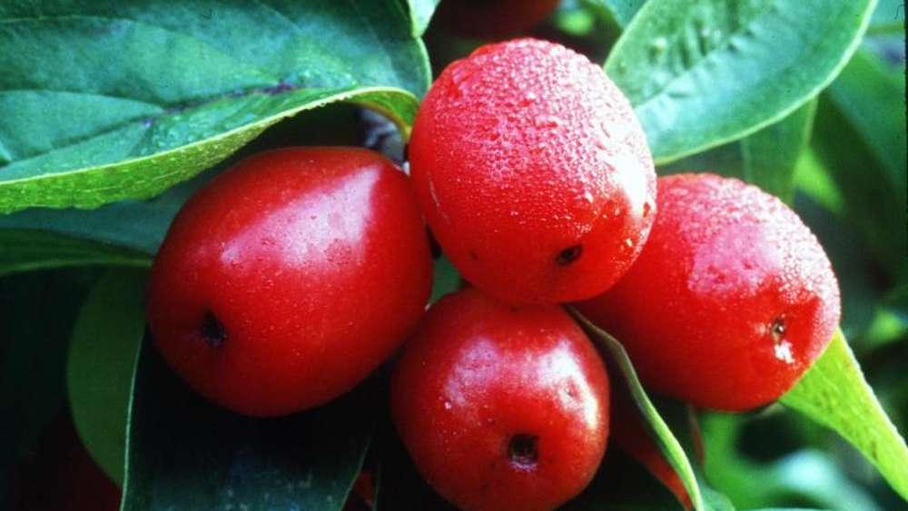 Prächtig Kornelkirschen enthalten viel Vitamin C | Genuss &YD_43