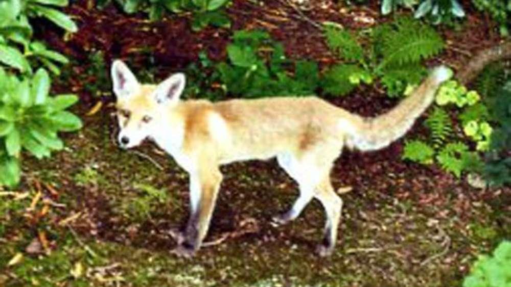 Junger Fuchs Leistete Gräfelfingerin über Monate Gesellschaft