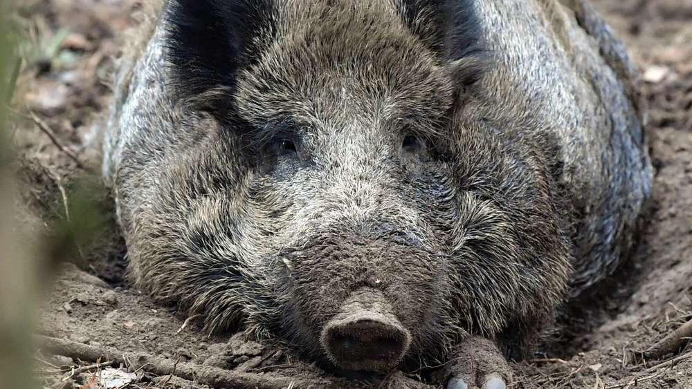 Lengdorf: diskussion um wildschweinjagd: wenig durchblick bei