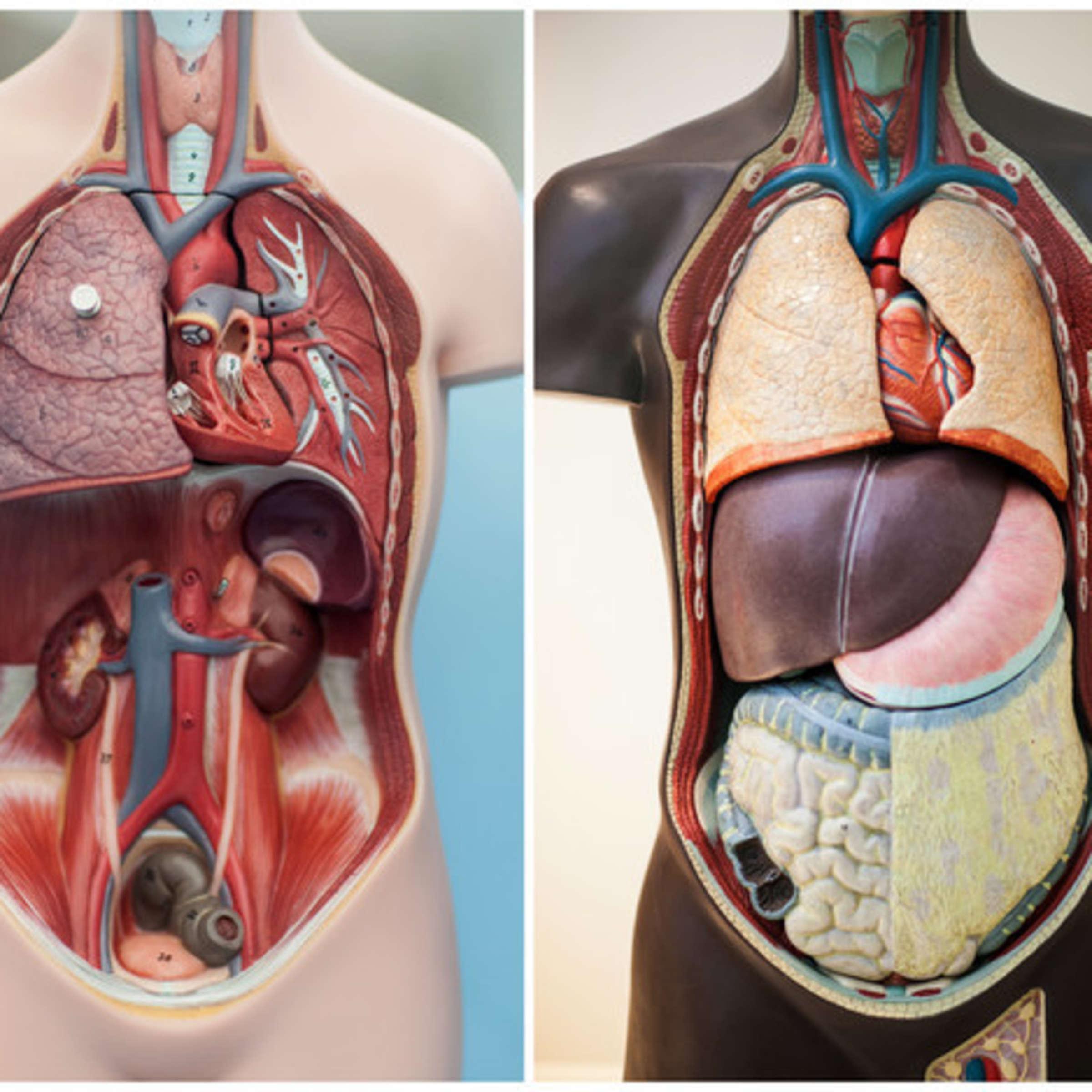 Frau organe körper innere Körperatlas: Einblicke
