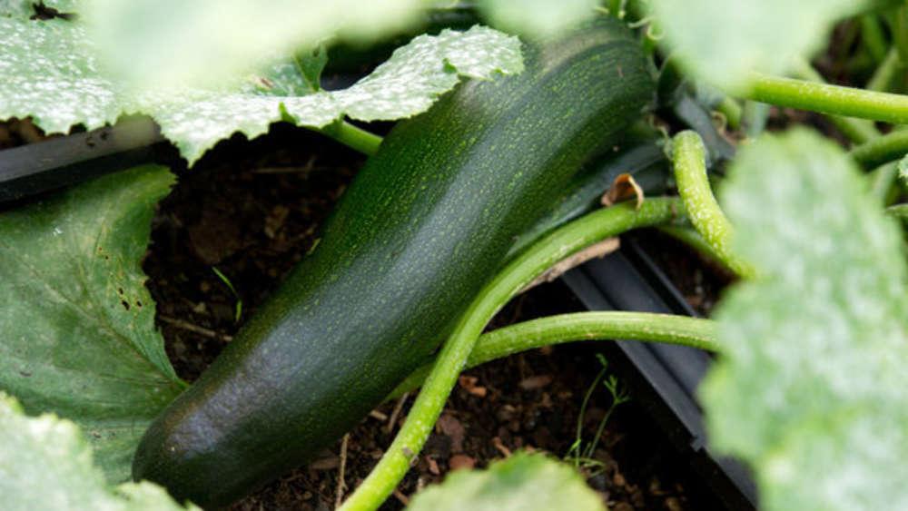Gut gemocht Zucchini pflanzen: Wann wird das Gemüse im Freiland, Hochbeet & Co GQ13