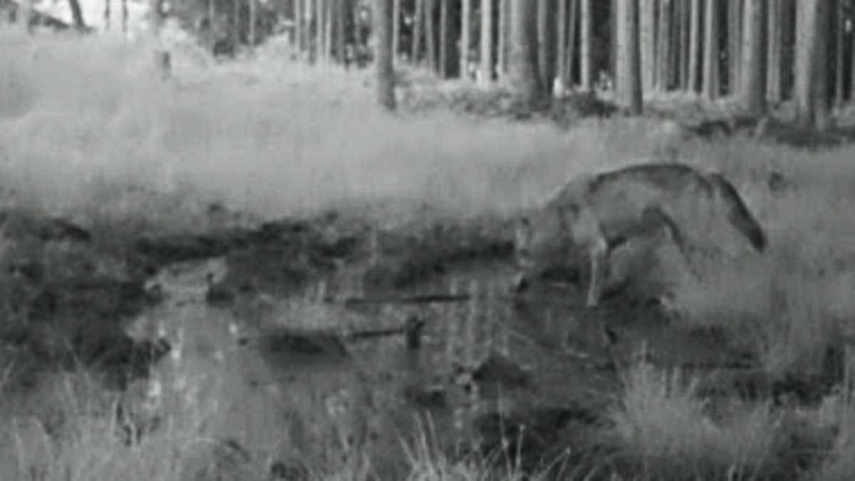 Wolf in oberbayerischem Wald gesichtet: Jäger hat mahnende Worte für bestimmte Personengruppe